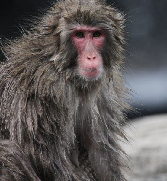 How Snow Monkeys Learn to Swim (18 pics)