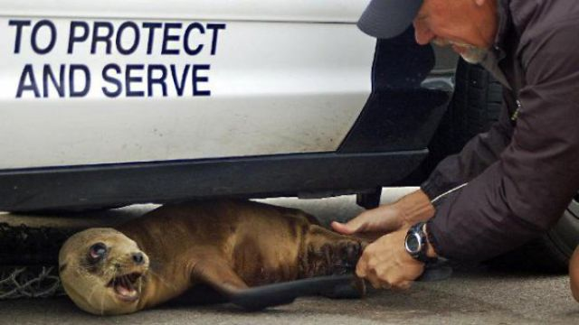 Baby Seal Found Under a Police Car (6 pics)