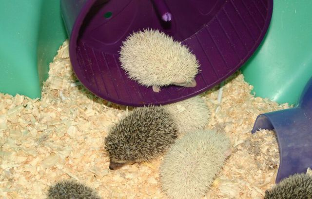 Newly Born Hedgehogs Are So Cute (52 pics)