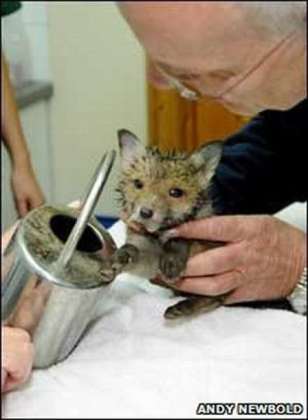 Rescuing a Baby Fox (12 pics)