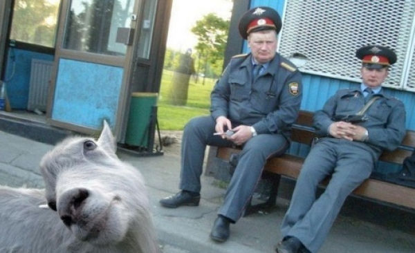 Hilarious Goat Photobombs (17 pics)