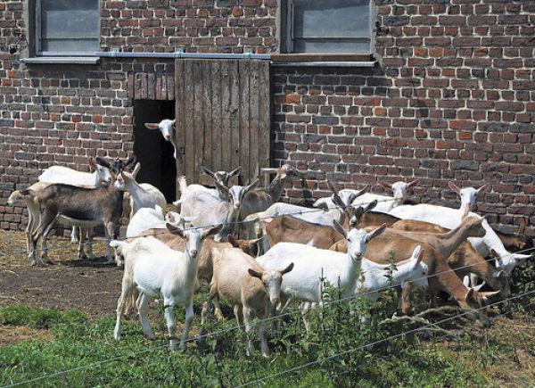 Hilarious Goat Photobombs (17 pics)