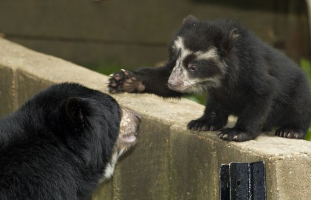 Cute Spectacled Bear Babies (15 pics)
