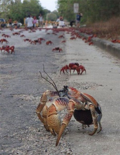 "Giant Red Crab ""Christmas"" Migration"