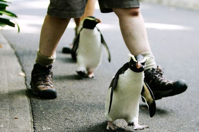 Penguins a Bunch (51 pics)