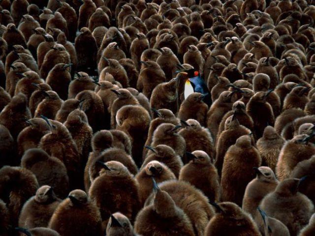 Penguins a Bunch (51 pics)