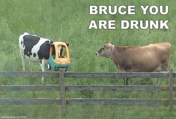 Vaca mete la cabeza en un coche de juguete