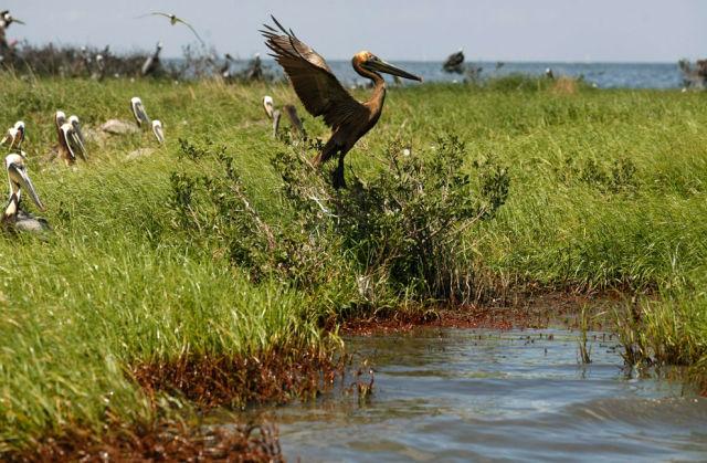 Oil Slowly Reaches Louisiana's Marshes (39 pics)
