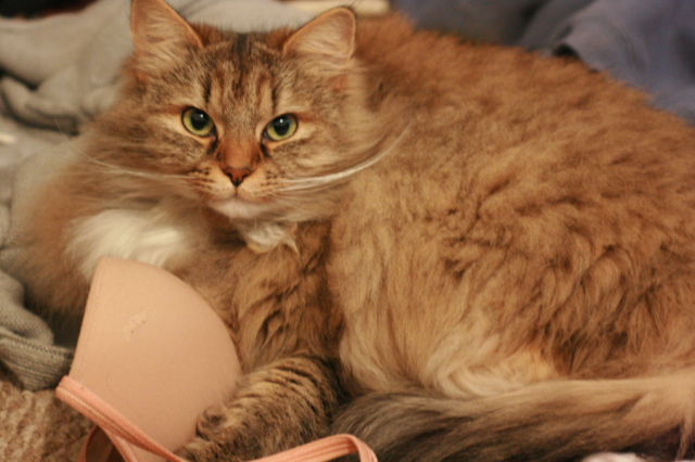 Cats Love Bras Too (37 pics)