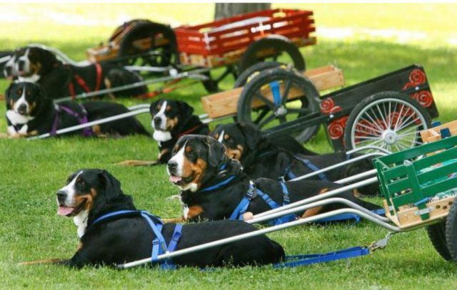 greater swiss mountain dog club of america - 600×373