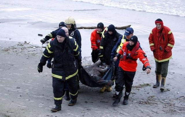 The Rescue of a Moose in Tallinn (28 pics)