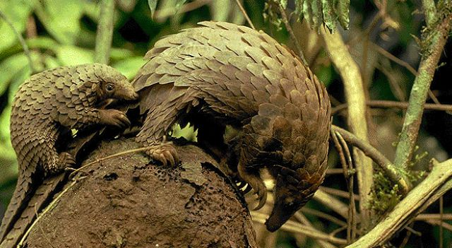 Positive Emotion of the Day - Pangolins (26 pics)
