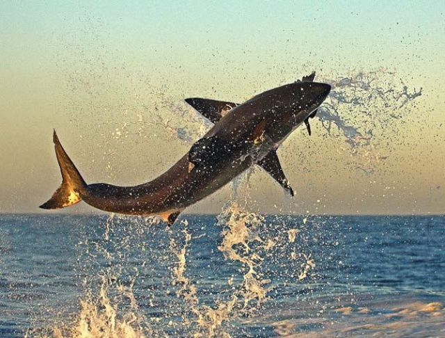 White Sharks Hunt for Seals (9 pics)