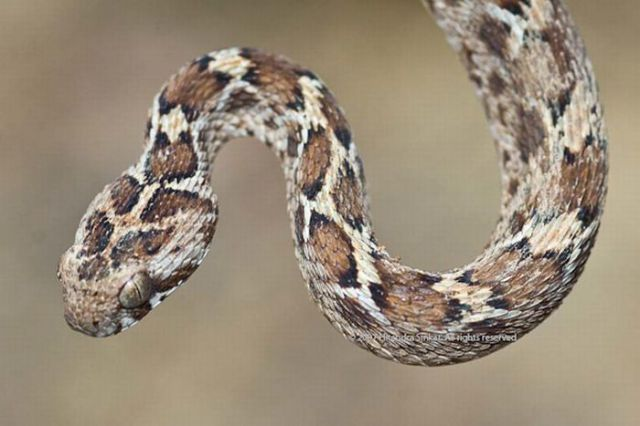 The Most Dangerous Snakes in the World (32 pics)