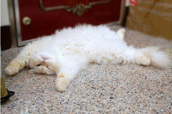 Funny Himalayan Cat (13 pics)