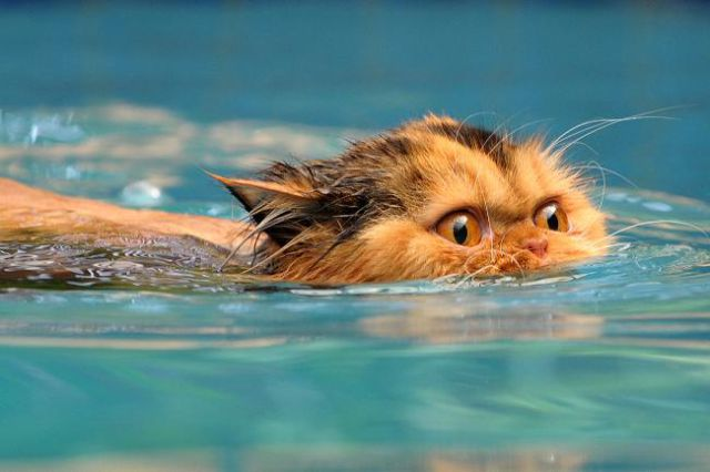 Swimming cats are so funny 29 pics - How long after you shock a pool can you swim ...