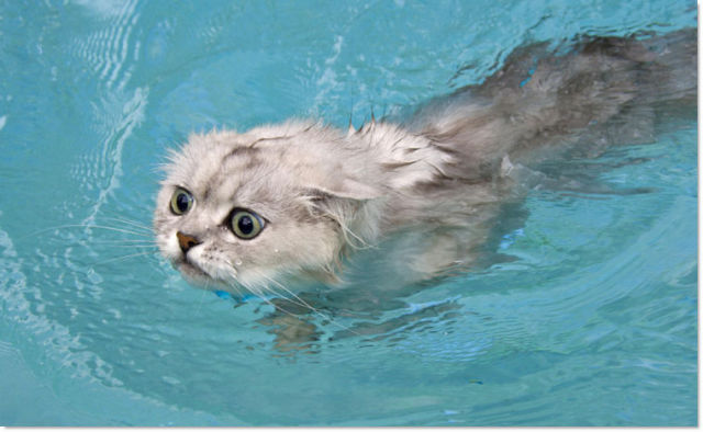 Swimming Cats Are So Funny (29 pics)