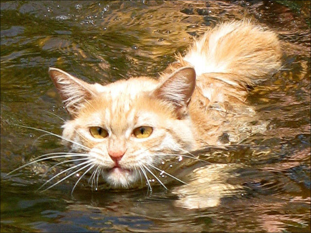 Swimming Cats Are So Funny (29 pics)