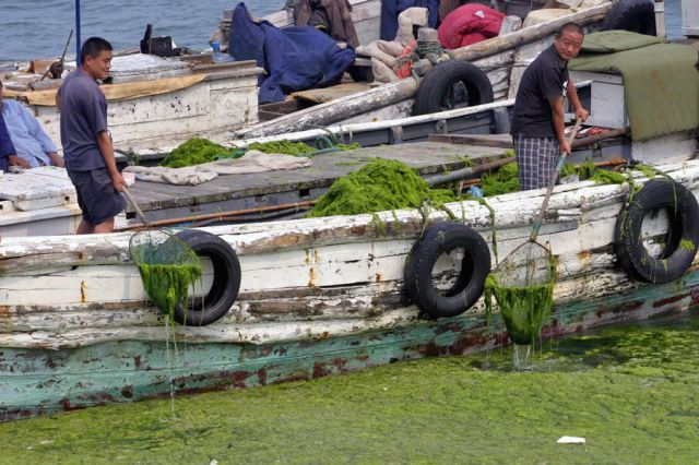 Seaweeds Invasion in China (18 pics)
