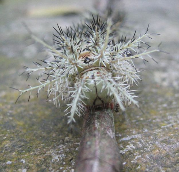 The Most Dangerous Caterpillar in the World (6 pics)
