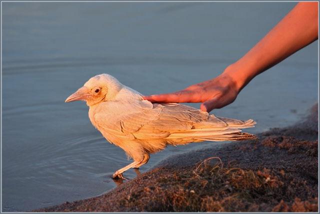A Real White Crow (4 pics)