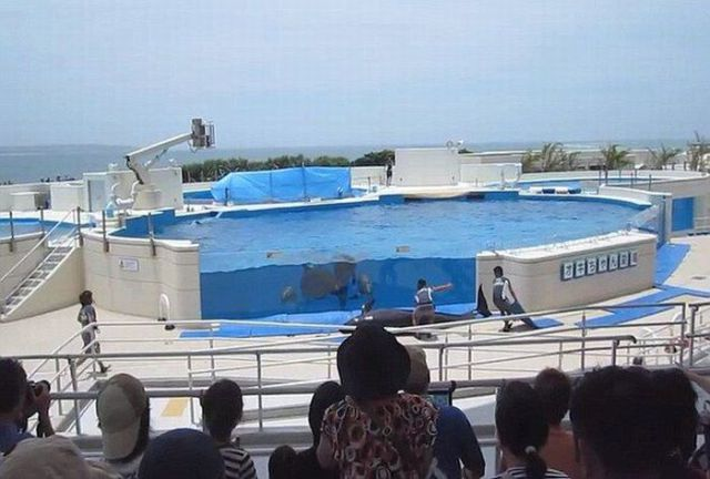 Japanese Dolphin Jumps Out of the Pool (5 pics)