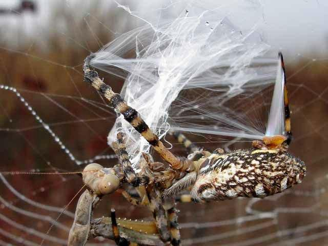 Spider vs. Mantis (8 pics)