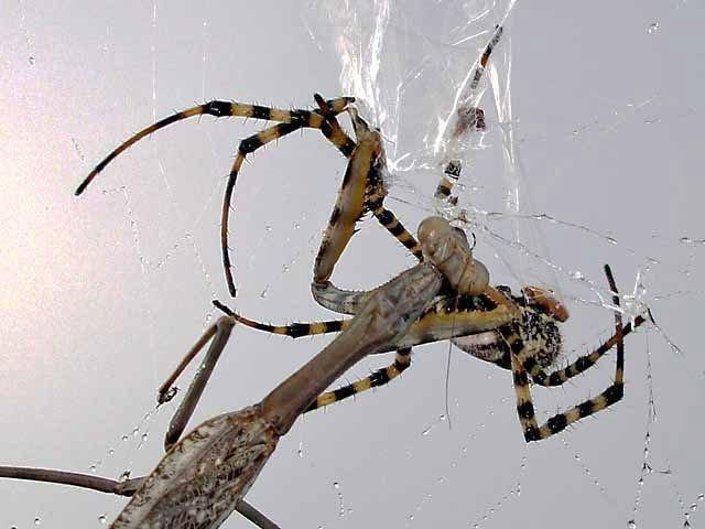 Spider vs. Mantis (8 pics)