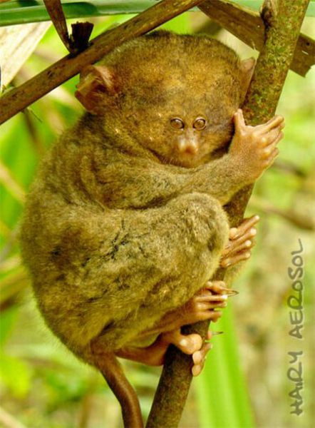 Photo Manipulations with Tarsiers (31 pics)