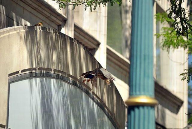 American Banker Rescues Ducks (17 pics)