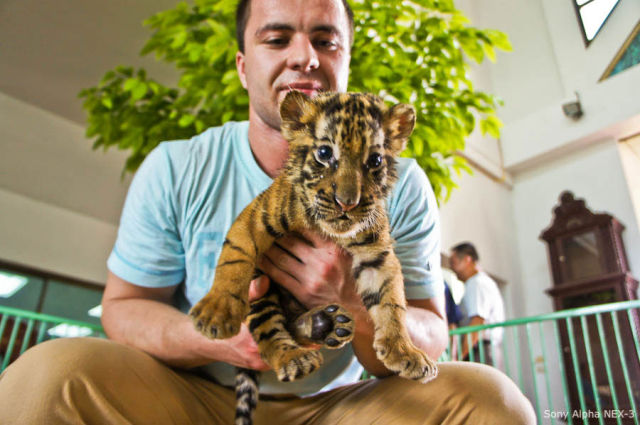 Patting a Tiger (20 pics)