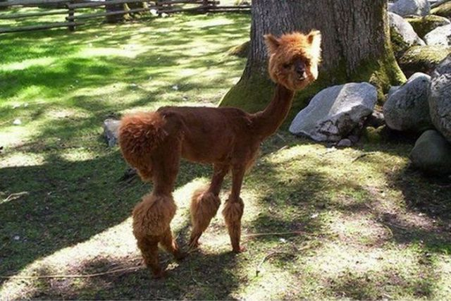 Hilarious Dog Haircuts (49 pics) - Izismile.com
