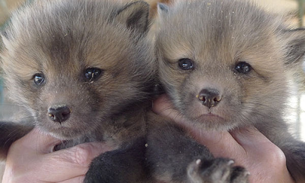Cute Tamed Foxes (12 pics)
