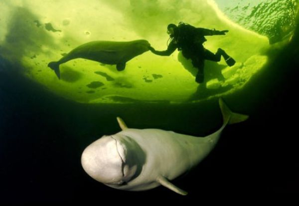 Diving with White Whales (15 pics)