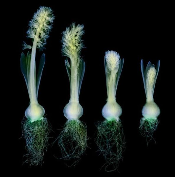 Charming XRays of Flowers (19 pics)