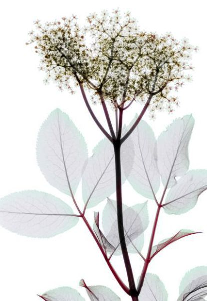 Charming XRays of Flowers (19 pics)