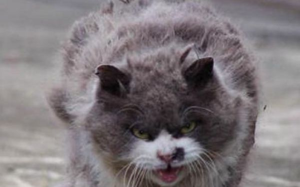 The Angriest Cat Ever (6 pics)