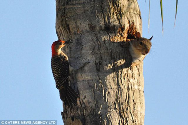 Dialog between a Squatter and a Woodpecker. You Continue (3 pics)