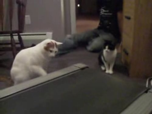 Positive of the day. How cats tried to understand what treadmill was