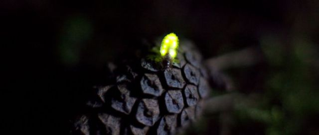 The Beautiful Lights Produced by Fireflies (21 pics)