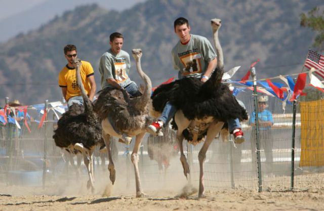The Ostrich Races (10 pics)