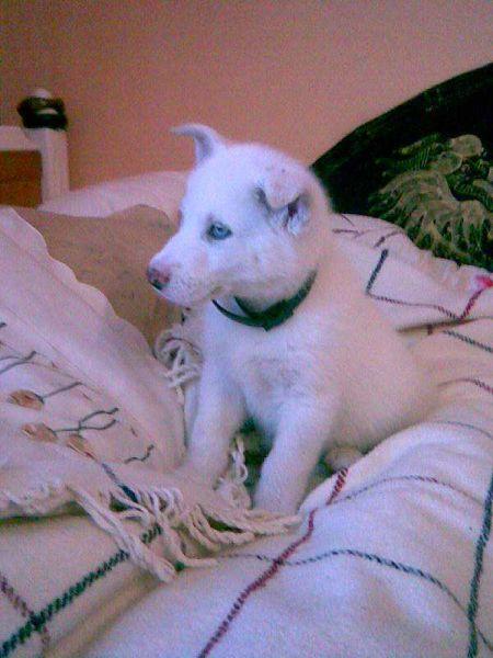 Gizmo - beautiful white husky (25 pics)