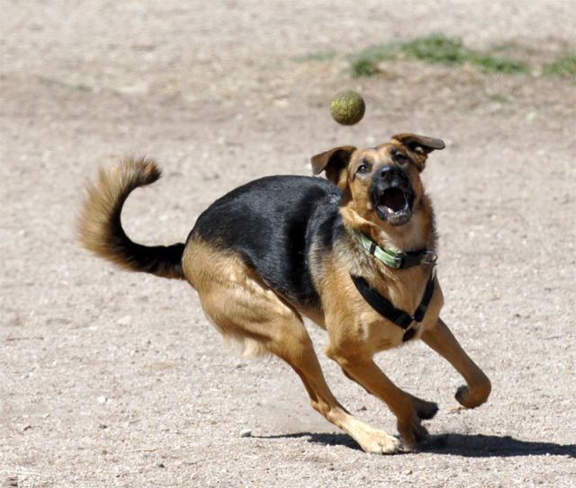 Dogs and Tennis Balls (36 pics)