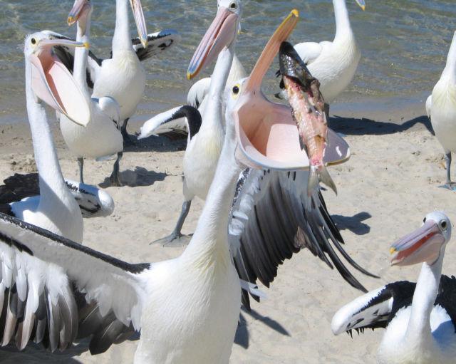 pelicans (1 pic)