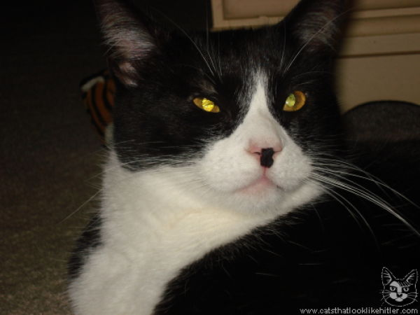 Catlers, or Cats That Resemble Hitler (39 pics)