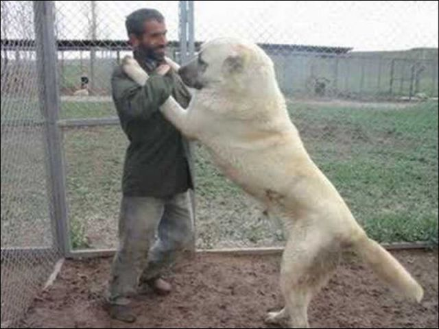 Huge Dogs (19 pics)