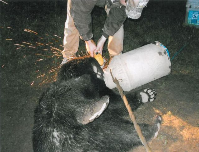 Great Bear Rescue (10 pics)