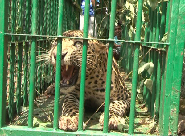 Leopard and Dog Caged in Open Well (6 pics)
