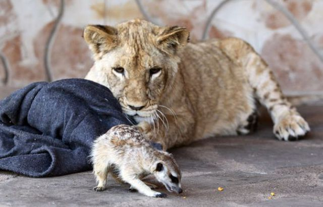 Best Buddies: Lion Cub and a Meerkat (7 pics)