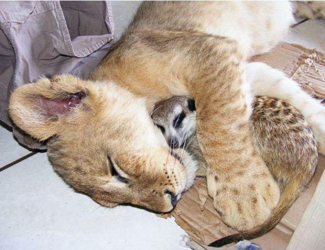 Best Buddies: Lion Cub and a Meerkat (7 pics)